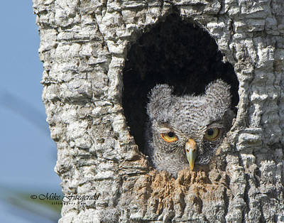 Photograph - Owlet by Mike Fitzgerald