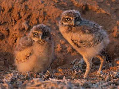 Photograph - Owlet Siblings by Sue Cullumber