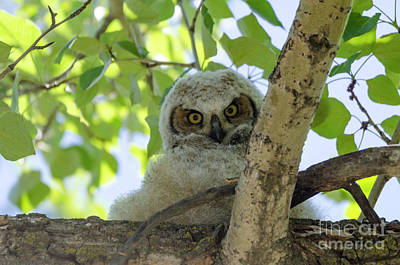 Photograph - Owlet Stare by Dee Cresswell