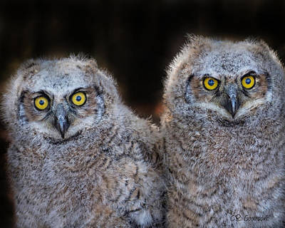 Photograph - Owlets by CR  Courson