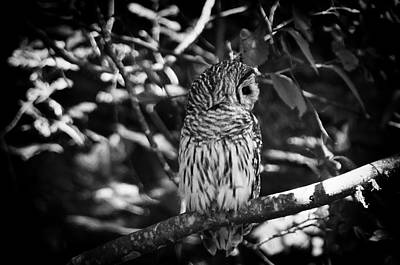 Photograph - Barred Owl 4 by Marilyn Wilson