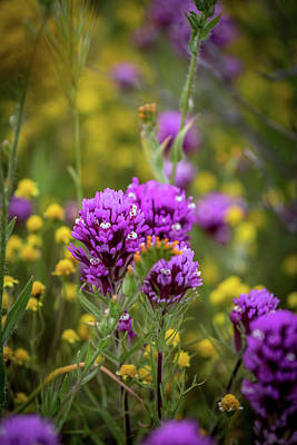 Fiddleneck Photograph - Owl's Clover by Peter Tellone