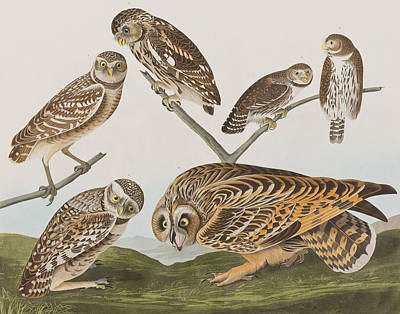 Burrowing Owl Painting - Owls by John James Audubon