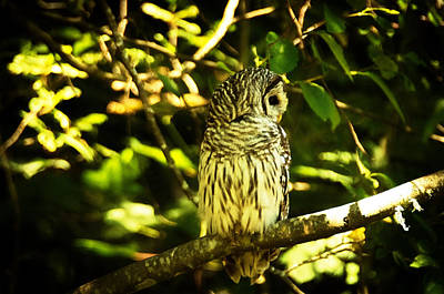 Photograph - Barred Owl 5 by Marilyn Wilson