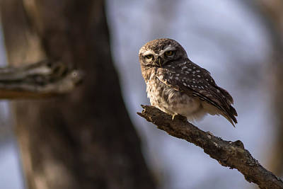 Photograph - Owly - Spotted Owl by Ramabhadran Thirupattur