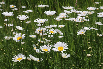 Photograph - Ox Eye Daisies by Les Weber