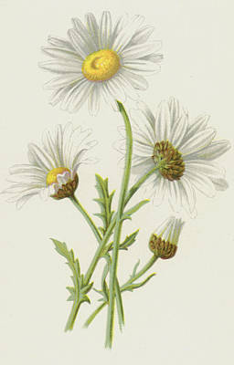 Daisies Drawing - Ox Eye Daisy by Frederick Edward Hulme
