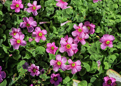 Photograph - Oxalis Purpurea In Bloom by Kathleen Bishop
