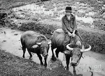 Photograph - Oxen Day Off.cambodia Bw by Jennie Breeze