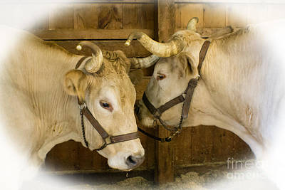 Photograph - Oxen Team by Kevin Fortier