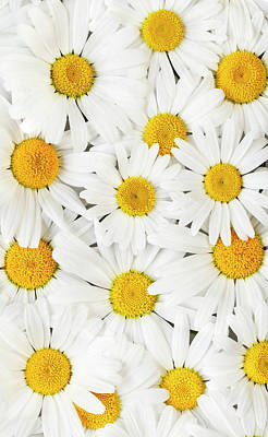 Photograph - Oxeye Daisies 2 by Alan L Graham