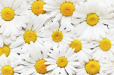 Photograph - Oxeye Daisies by Alan L Graham