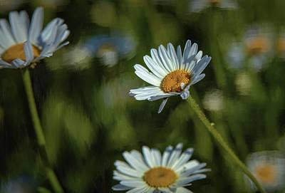 Photograph - Oxeye-daisy #g4 by Leif Sohlman
