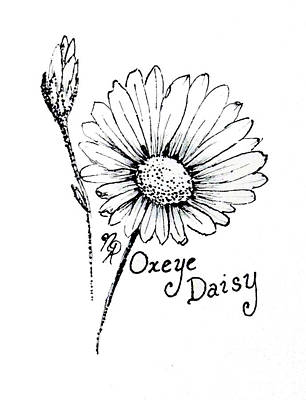 Drawing - Oxeye Daisy by Nicole Angell