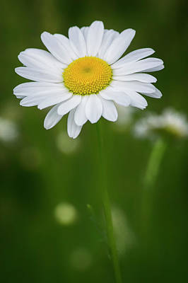 Photograph - Oxeye Daisy_wildflowers_060216_0169 by Brian Snyder