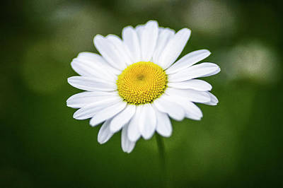 Photograph - Oxeye Daisy_wildflowers_060216_0176 by Brian Snyder