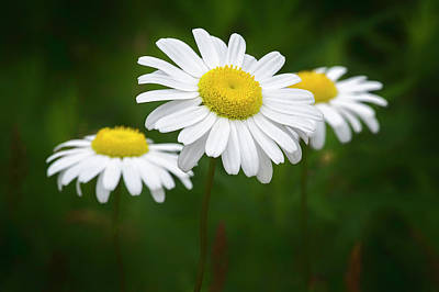 Photograph - Oxeye Daisy_wildflowers_060416_0022 by Brian Snyder