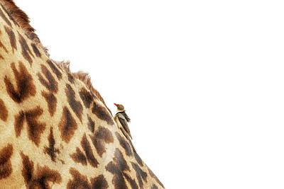 Photograph - Oxpecker On Giraffe With Copy Space by Susan Schmitz