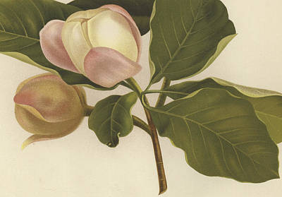 Oyama Magnolia Art Print by English School