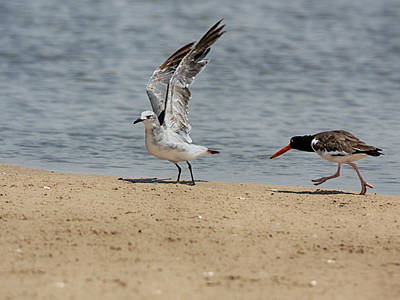 Photograph - Oyster Catcher And Gull by Charles McKelroy