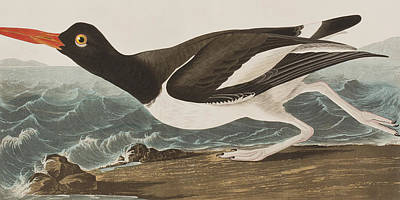 Wings Drawing - Oyster Catcher by John James Audubon