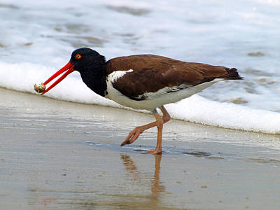 Photograph - Oyster Catcher by Kim Schmidt