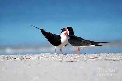 Animal Paintings David Stribbling - Black Skimmers by Terri Winkler