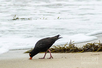 Photograph - Oystercatcher 01 by Werner Padarin