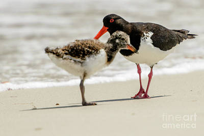 Photograph - Oystercatcher 02 by Werner Padarin