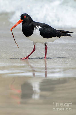 Photograph - Oystercatcher 03 by Werner Padarin