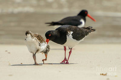 Photograph - Oystercatcher 06 by Werner Padarin