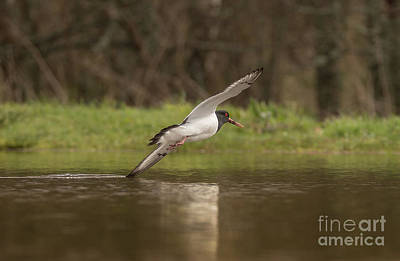 Photograph - Oystercatcher by Keith Thorburn LRPS