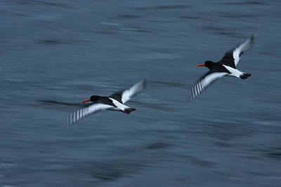 Photograph - Oystercatchers At Dustk by Kathryn Bell
