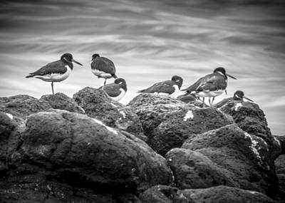 Photograph - Oystercatchers Bedding Down For The Night by Glen Sumner