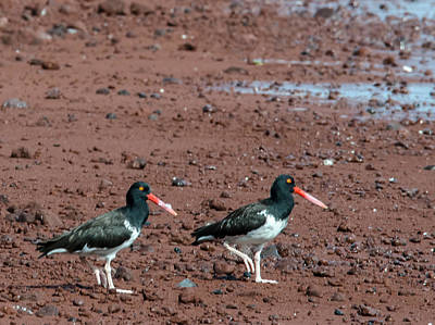 Photograph - Oystercatchers by Harry Strharsky