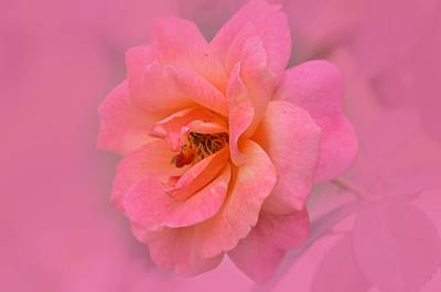 Photograph - P Is For Pink by Maria Urso