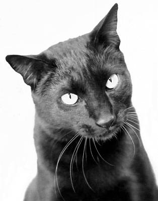 Black Cat Photograph - Pablo  by Heather S Huston