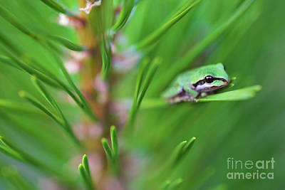 Photograph - Pacfic Tree Frog On Pine Needle by Bruce Block