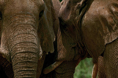 Photograph - Pachyderm Love by Lawrence Boothby