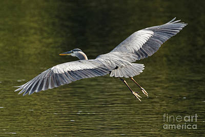 Photograph - Pacific Great Blue Heron On The Fly by Sue Harper