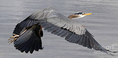 Photograph - Pacific Great Blue Heron On The Wing by Sue Harper