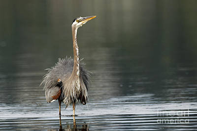 Photograph - Pacific Great Blue Heron Striking A Pose by Sue Harper
