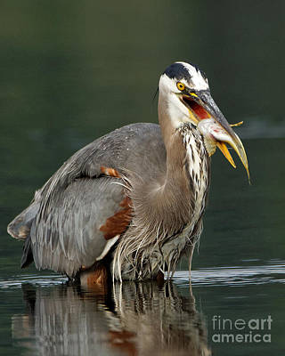Photograph - Pacific Great Blue Heron - With Its Catch by Sue Harper
