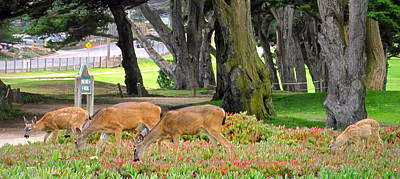 Photograph - Pacific Grove Deer Family Close Up by Joyce Dickens