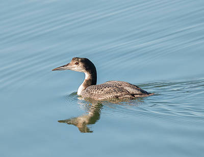 Photograph - Pacific Loon by Loree Johnson
