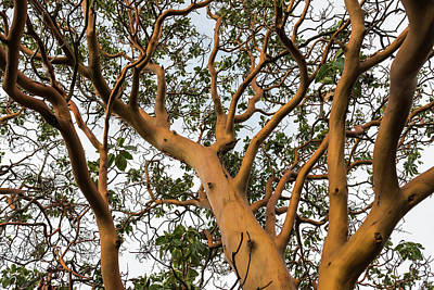 Photograph - Pacific Madrone Trees by Robert Potts
