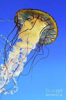 Photograph - Pacific Sea Nettle #2 by Judy Whitton