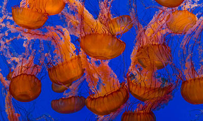 Dance Photograph - Pacific Sea Nettle Cluster 1 by Scott Campbell