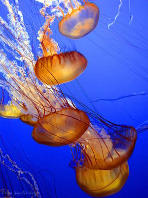 Photograph - Pacific Sea Nettle I by Joyce Dickens