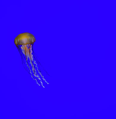 Photograph - Pacific Sea Nettle Jellyfish by Steven Brodhecker